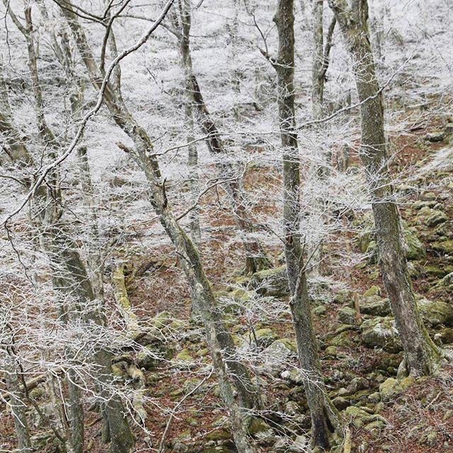 【haiirototoro】さんのInstagramをピンしています。 《〜7年前の立冬のころに〜 大台ヶ原の霧氷 条件がよければ いまくらいの時期からみることができます  前の日が雨だったり 昼ははれる予報で 朝は放射冷却だったり  要は すっごく寒いときに霧がでてたら 霧氷になります  それをみきわめるのが むつかしいんですけどね  #大台ヶ原 #大台ケ原 #oodaigahara #霧氷 #rime #hoarfrost #forest #樹氷 #森 #forest #よしくま #冬 #winter #上北山村 #kamikitayama #奈良 #nara #japan》