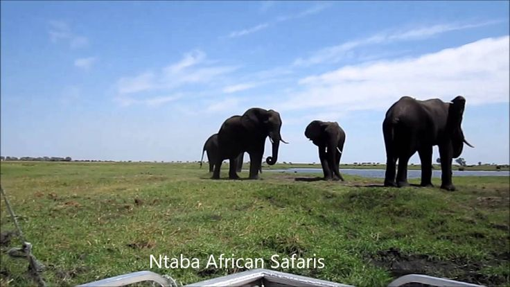 Elephants Grazing Sidudu Island Chobe River Botswana