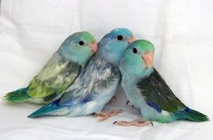 Awwwwwwww | Available Baby & Young Breeder Parrotlets For Sale
