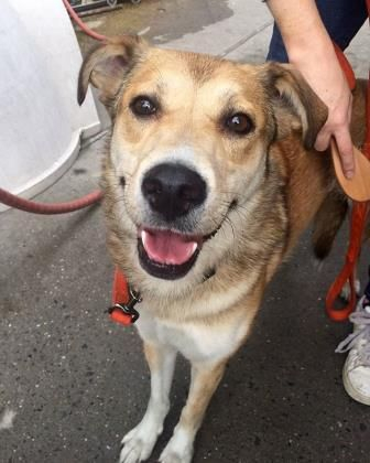 Meet UFO, an adoptable Shepherd looking for a forever home. If you're looking for a new pet to adopt or want information on how to get involved with adoptable pets, Petfinder.com is a great resource.