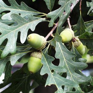 White oak. Notice the leaves and Acorns. Also their bark has a pale white in its coloration