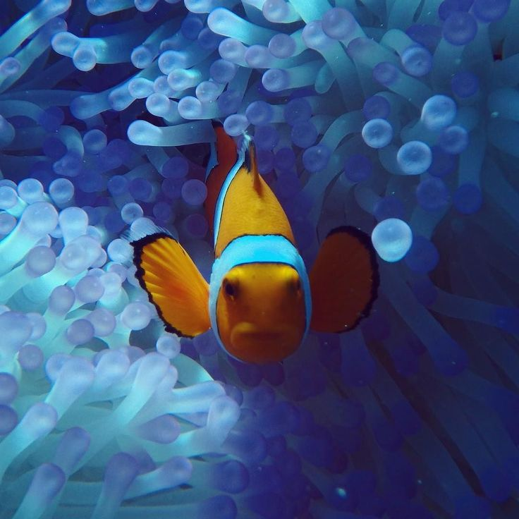 正面から#オーストラリア#ケアンズ#ポートダグラス#クイーンズランド州#グレートバリアリーフ#珊瑚#海#シュノーケリング#スキンダイビング#イースタンクラウンアネモネフィッシュ#ニモ#クマノミ#australia #cairns#portdouglas#queensland#greatbarrierreef#ocean#sea#skindiving #underthesea#coral#outerreef#snorkeling#skindiving#diving#easternclownanemonefish#clownanemonefish#nemo by underthesea_24 http://ift.tt/1UokkV2