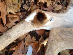 Learn how to use tarsal glands and tarsal juice to bring in every deer in the woods!