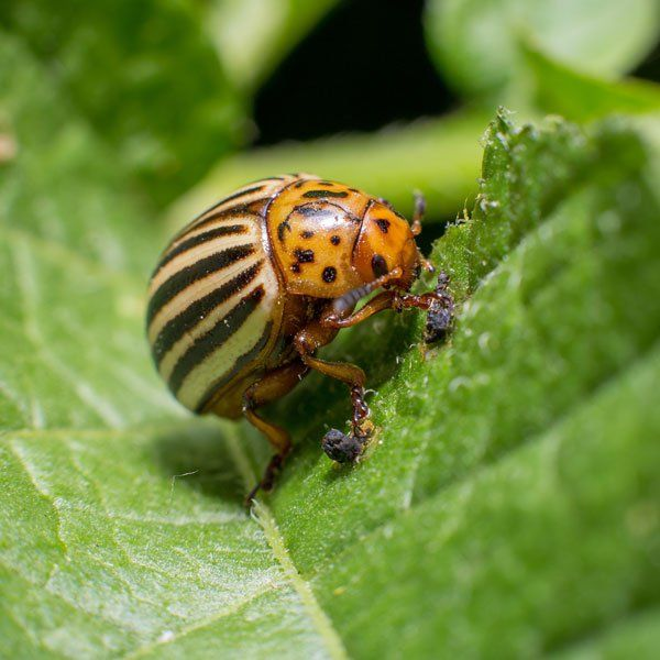 Common in home gardens throughout the United States  the Colorado potato  beetle is such a. Best 25  Potato bugs ideas on Pinterest   Sweet potato plant