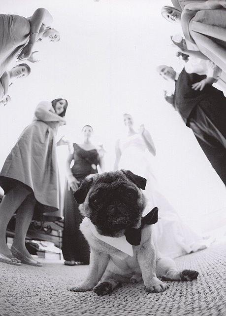 Wedding Pug in Bow Tie (This is soooo freakin cute!!!!!)