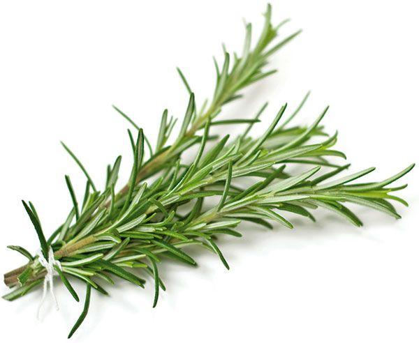 Rozmarín lekársky (Rosmarinus officinalis) Využitie Na liečebné aj kulinárske účely používame čerstvé alebo drvené sušené listy a kvety trhané po celý rok, najlepšie na začiatku kvitnutia. Pre jeho výraznú arómu ho používame v menších dávkach a len krátko pred tepelným dokončením jedál, aby vonné silice nevyprchali. Používa sa na aromatizáciu olejov, octov, dresingov, majonéz a marinád. Hodí na korenenie rôznych druhov mäsa.