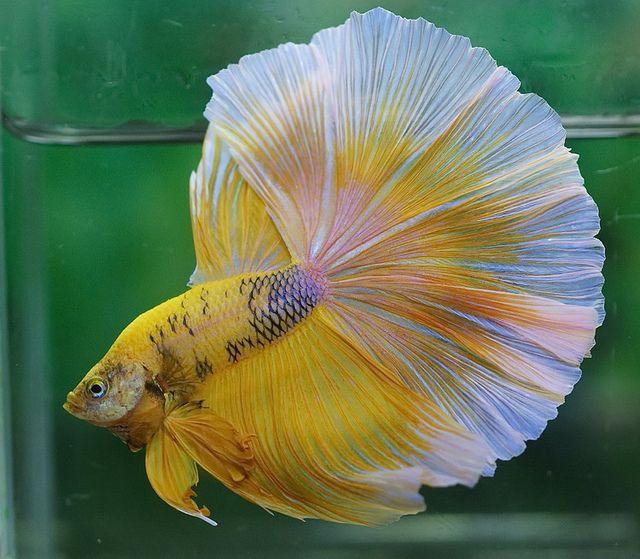 141 best betta fish images on pinterest for Best betta fish