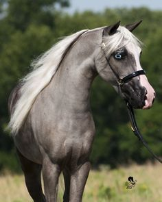 This is a Welsh Pony, stately - just on a smaller scale