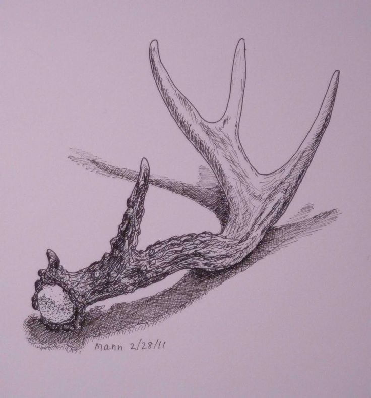 Deer Contour Line Drawing : Pencil contour line drawing of a deer antler google