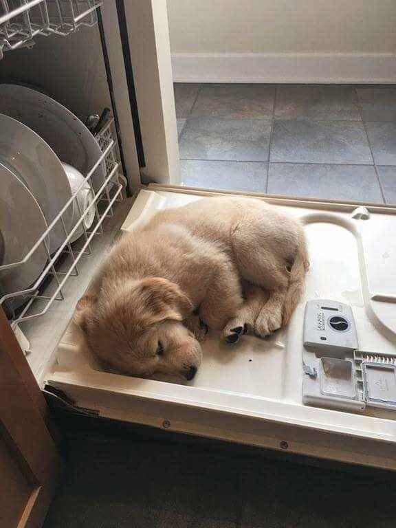 I can't stand the cuteness...we NEED to get a Golden!!!
