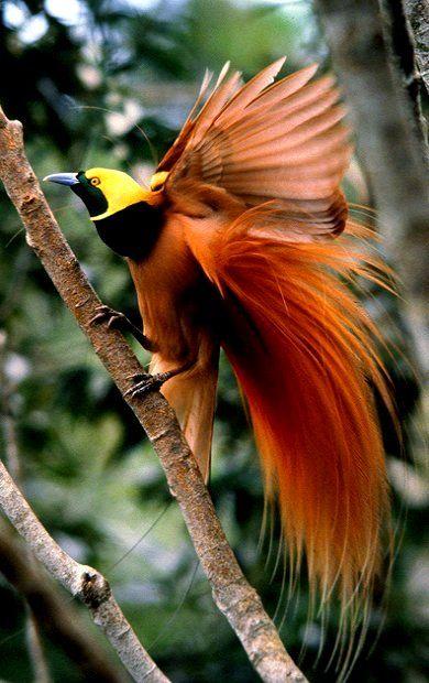 Birds of paradise raggiana bird of paradise paradisaea raggiana bird of paradise pinterest - Hd images of birds of paradise ...