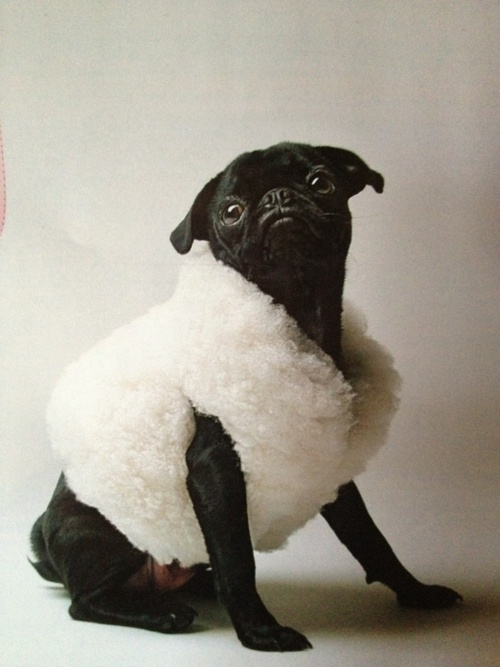130 best pugs that are not mine images on pinterest pug dogs sheep puggy thecheapjerseys Gallery