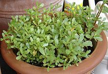 Purslane - Portulaca oleracea - Yummy...try it in your salads...this is a good Wikipedia article about it.