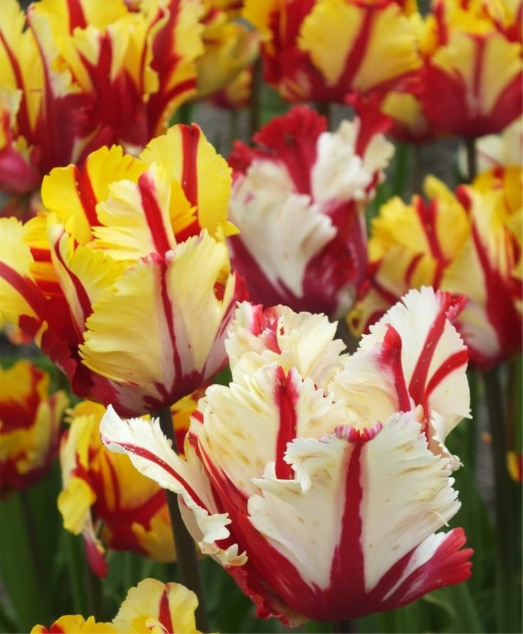 Tulip Flaming Parrot - Parrot Tulips - Tulips - Fall 2015 Flower Bulbs
