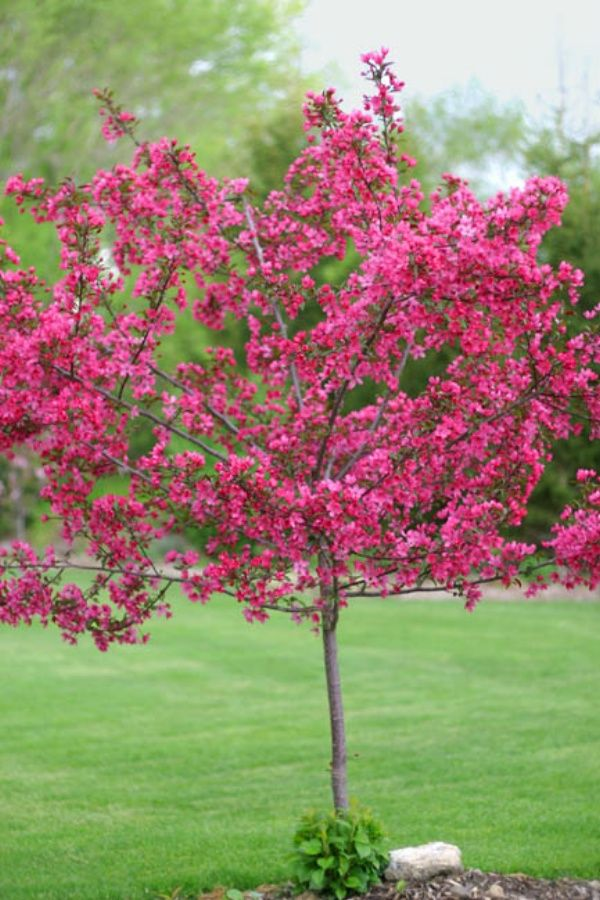 Prairiefire tree is a disease resistant crabapple.  Grows 15 to 20 ft. tall.