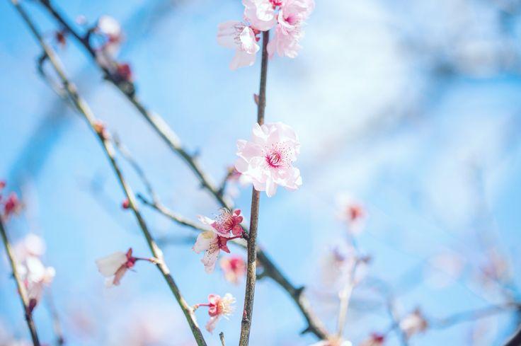 Cherry blossoms - Spring in Sydney Australia