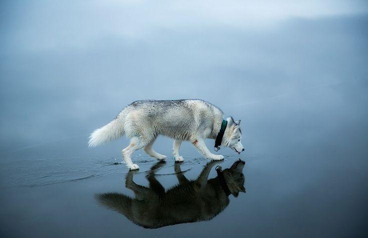 Siberian+Huskies+Walking+On+A+Frozen+Lake+Is+Like+Something+Out+Of+A+Fairy+Tale