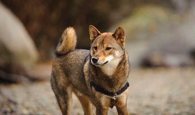 Shiba Inu Dog Breed Information