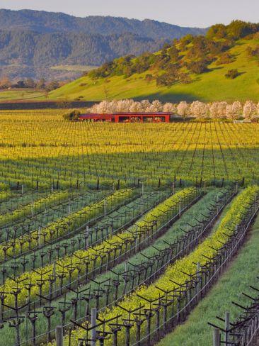 Spring Mustard Flowers in Screaming Eagle Vineyard, Napa Valley, Napa County, California, Usa