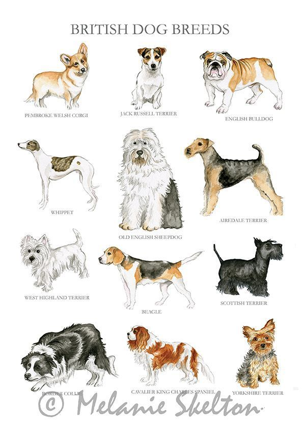 Dog Breeds Illustration Pugs Breeds Illustration Canaandogbreed In 2020 British Dog Breeds Dog Breed Poster British Dog