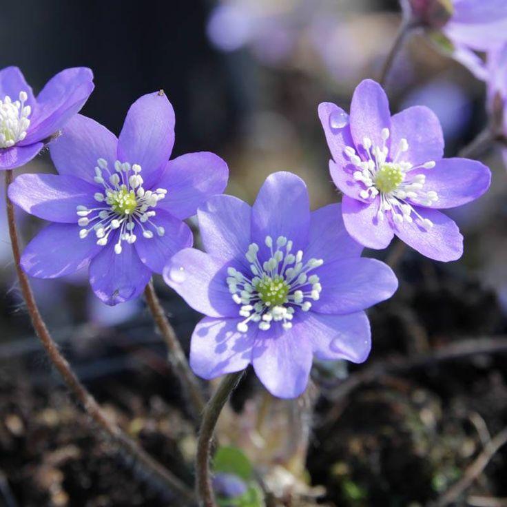 Staudenfoto zu Hepatica nobilis (Heimisches Leberblümchen)