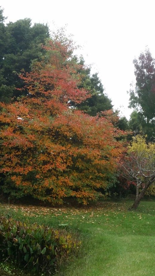 Autumn colours in a small grove by the pond. #autumn #newzealand