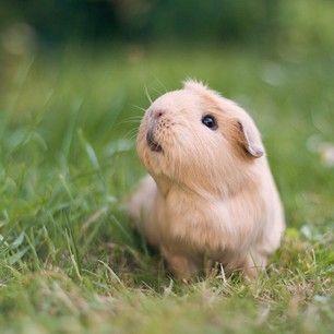 …because she's about to take over your heart! | The Newest Adorable Animal On Instagram Is A Guinea Pig Named Booboo