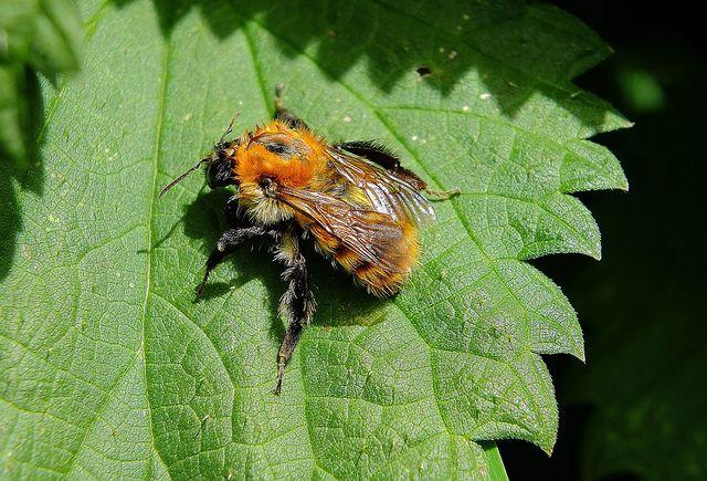 Bombus muscorum Moss Carder Bee