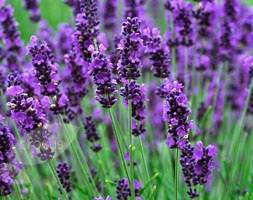 Lavandula angustifolia  'Hidcote'   It is possibly the best lavender for edging paths and borders and the aromatic foliage perfumes the air if you brush against it.: Garden Ideas, Can, Augustifolia Hidcote, Outdoor, Lavender Plants