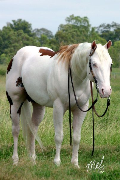 """Son Of a Gun -   """"Sonny"""" is a loud splashed white overo horse with 2 blue eyes. His sire """"Gunner"""" is a splashed white and his dam """"Miss Modern Art"""" is an overo - Sonny carries both gene types and is throwing both colour patterns to solid mares."""