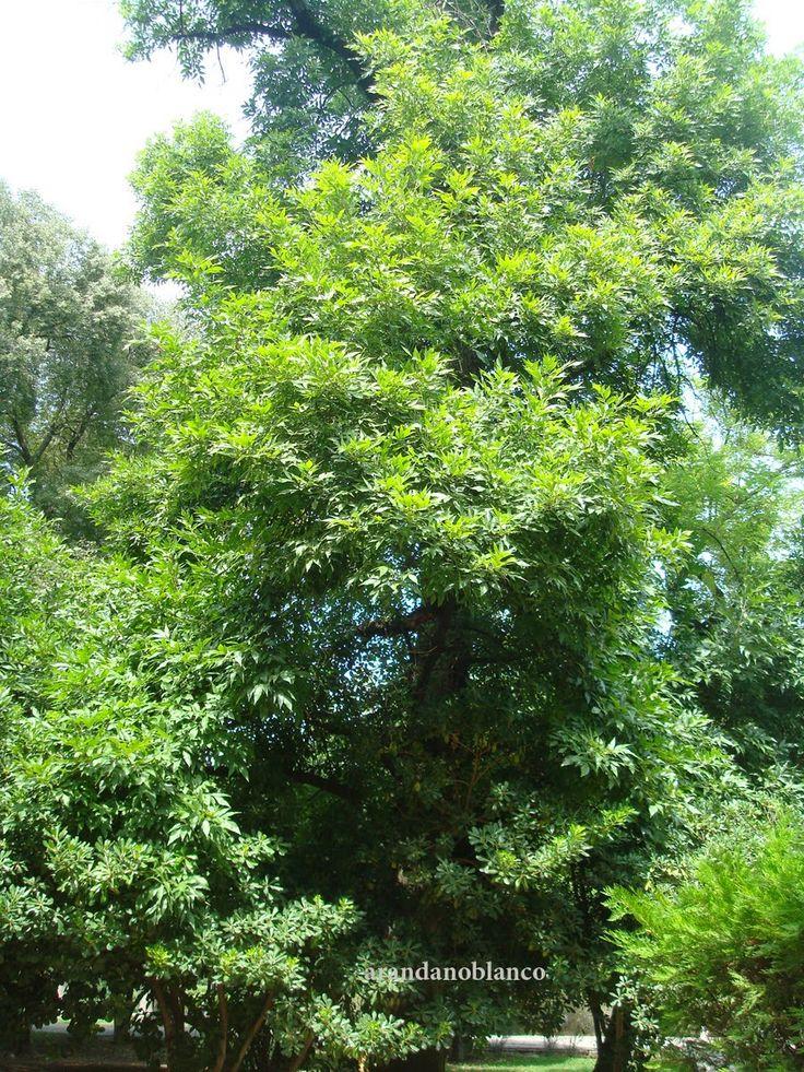 Parquealamillo encinarosa fraximus ornus fresno de flor - Arboles y arbustos ...