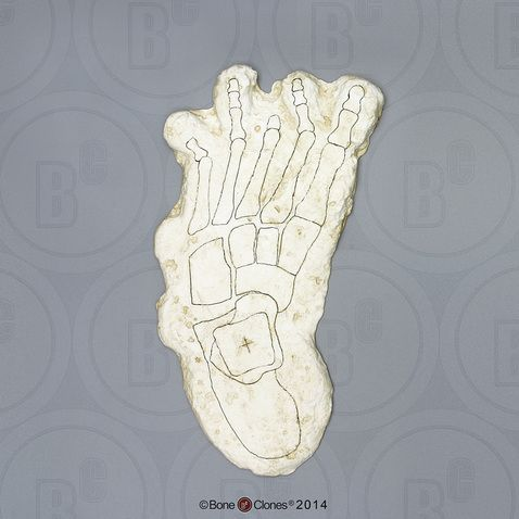Bigfoot Left Footprint, Impression and Reconstruction by Dr.Grover Krantz