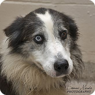 URGENT!!! I am at a full, kill shelter in Troy, OH - Border Collie/Australian Shepherd Mix. Meet Skipper, a dog for adoption. http://www.adoptapet.com/pet/16628066-troy-ohio-border-collie-mix