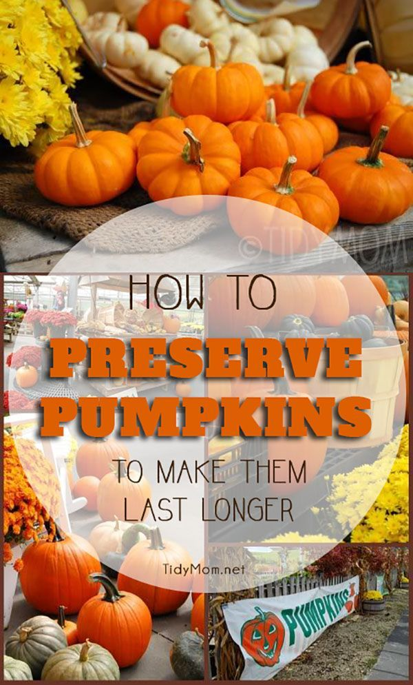 Learn how to preserve pumpkins and keep your carved pumpkins looking their best all the way thru Halloween and beyond. All pumpkins are going to rot away eventually, and there are a lot of myths about how to preserve pumpkins. But after extensive testing, some pumpkin enthusiasts proved that treating pumpkins with bleach held out the longest. Find out more at TidyMom.net