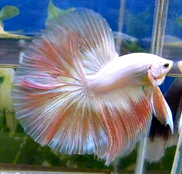 17 best images about poisson combattant on pinterest for Ebay betta fish