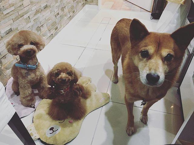 今日は犬の日(11月1日)らしいです❗️🐶 今日も可愛くてありがとう😊 #dog  #dogstagram  #犬  #ペット  #愛犬  #犬の日  #トイプードル  #toypoodle  #多頭飼い  #雑種犬  #元保護犬