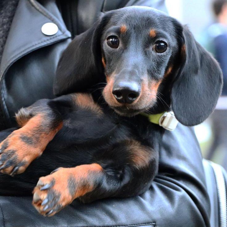 What I Prefer To Be Carried Dachshund Dachshund Dog