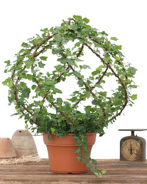 "Atherton Tuscany Topiary - 12"" Fresh Large Ivy Spiral Globe Rustic Antique Topiary Frame Home and Garden Garden Estate Deisgn Hearst Filoli"