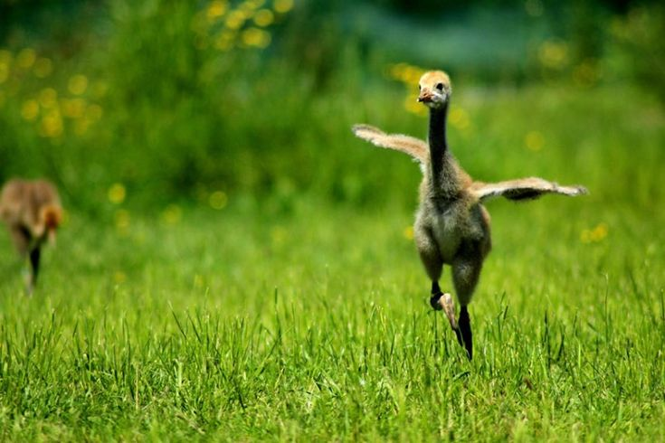 A clutch of crane chicks take part in a 10-week crane school course at the Wildfowl and Welands Trust Slimbridge reserve in Gloucestershire