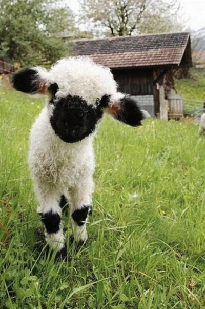 This has to be one of the cutest baby lambs ever. @Rachael E E E Companik