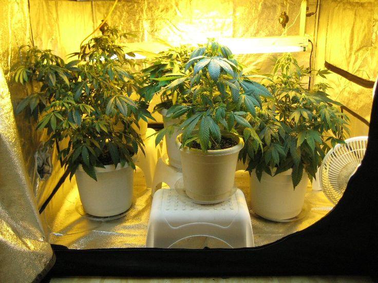 How is hydroponic marijuana grown?