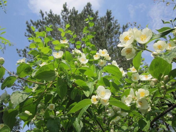 В летний период уход за цветущим кустарником заключается только в умеренном поливе.     Осенью следует вносить минеральные удобрения, производить обрезку густой поросли и мульчирование.     А в зимний период уход за кустарником не требуется. Сильные морозы могут повредить концы молодых побегов, но по этому поводу не стоит волноваться, поскольку растение с легкостью выбрасывает новые.     Основными вредителями чубушника являются тля, долгоносик и паутинный клещ, поэтому кустарник необходимо
