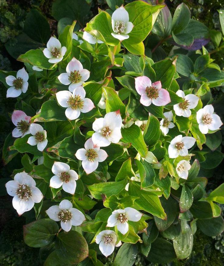 Cornus canadensis (de Winkel - Heidepflanzen vom Niederrhein)