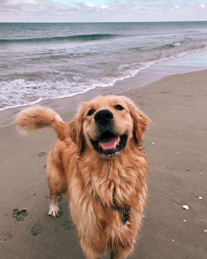 Finn The Golden Retriever At The Beach Best Dog Breeds Dogs
