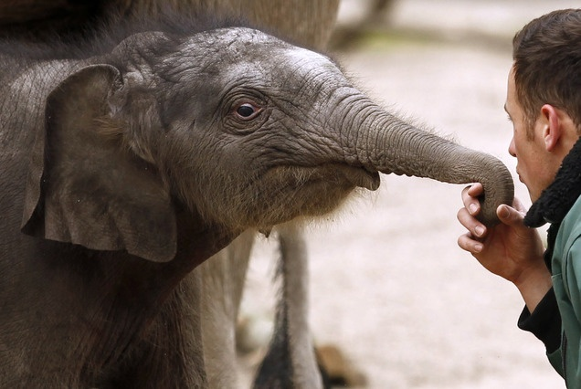 A weeks-old Asian elephant bull (Elephas maximus) named Assam plays with keeper Robert Schieritz during his first appearance in the outdoor enclosure at the Hagenbeck zoo in Hamburg, northern Germany, Friday, April 27, 2012. (AP Photo/dapd, Philipp Guelland)