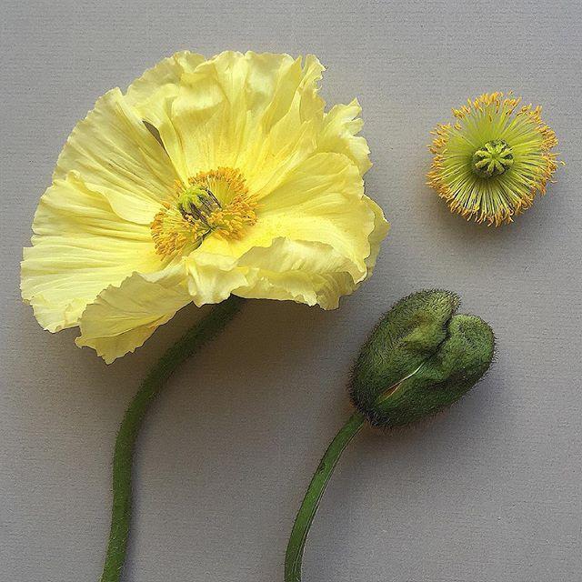 P A P A V E R . nudicaule #botancalstudy #poppy #papavernudicaule #spring #yellow #icelandpoppy #botanicaleconstruction