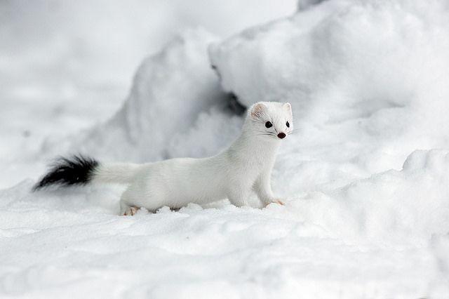 125 Best White Emine Weasel Images On Pinterest Ferrets
