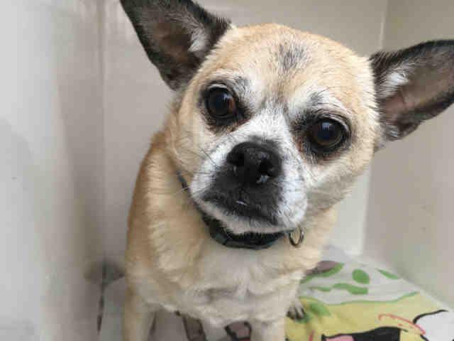 Chug Dog For Adoption In Louisville Ky Adn 786301 On Puppyfinder