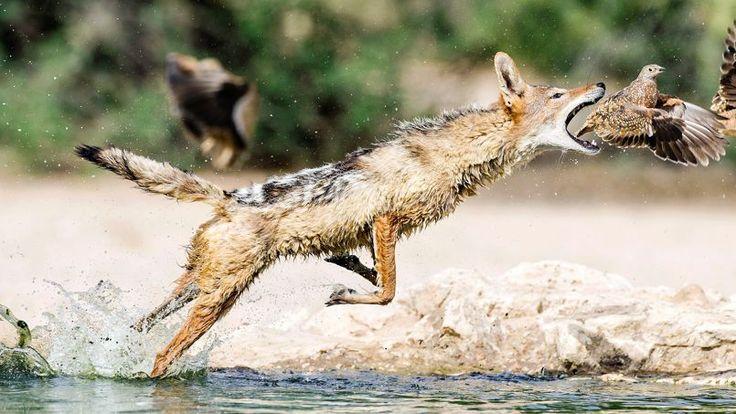 FABLE AFRICAINE. Il ne s'agit pas d'un renard ni même d'un coyote, mais d'un chacal à dos argenté. Et la scène ne se déroule pas dans le courant d'une onde pure, mais au bord de la rivière Nossob, au cœur du parc naturel du Kalahari, entre Botswana et Afrique du Sud. Il faudrait donc le talent d'un Richard Kipling conjugué à celui d'un Jean de La Fontaine pour nous conter la morale de cette scène de chasse. Mais ce type de chacal a beau être un redoutable prédateur, il est cependant permis…