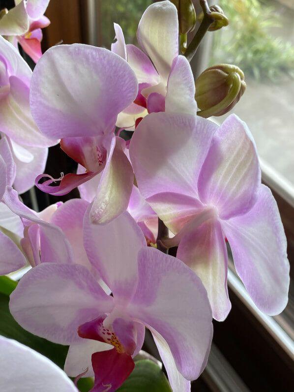 Phalaenopsis hybride sans nom mais si joli - Paris côté jardin en 2020 | Jardins, Plante, Joli
